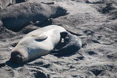 Female elephant seal nursing its baby elephant seal in USA Royalty Free Stock Photos