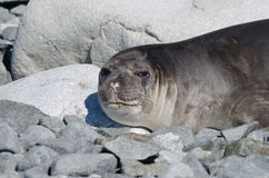 Female elephant seal Stock Images