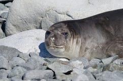 Female elephant seal. Female Southern Elephant seal (Mirounga leonina Stock Images