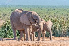 Female Elephant and two calves drinking water Stock Photo