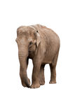 Female elephant Stock Image