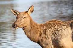 Female elk Stock Photo