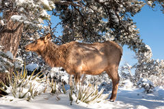 Female elk Royalty Free Stock Photo
