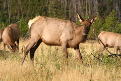 Female Elk. In herd in forest clearing Royalty Free Stock Image