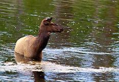 A female elk (Cervus canadensis) Royalty Free Stock Image