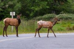 Female Elk Stock Photos