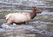 Female Elk Crossing Yellowstone River Stock Images