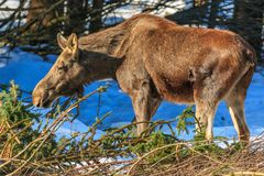 The female elk eating the spruce branches in the winter Stock Image