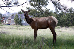 Female Elk Royalty Free Stock Image