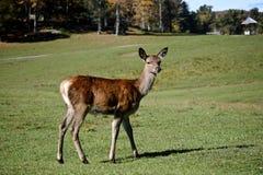 Female Elk Stock Image