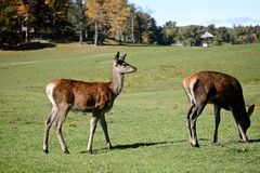 Female Elk gracing Royalty Free Stock Image