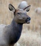 Female Elk Grazing. A beautiful female elk grazes in a field near Estes Park, Colorado Stock Images