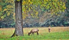 Female elk grazing in a field Stock Image