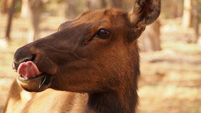 Female elk. Having a munch stock image