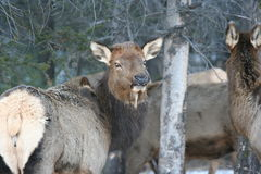 Female elk in Jasper stock images