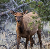 Female Elk Royalty Free Stock Photos