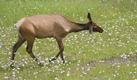 Female elk on a meadow Stock Photos