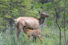 Female Elk nursing her fawn Stock Photography