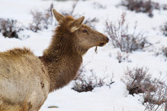 Female Elk Portrait Stock Images