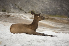 Female elk resting in lime deposits, Yellowstone. Royalty Free Stock Photos