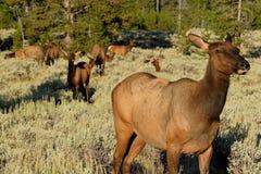 Female Elk in RMNP Royalty Free Stock Image