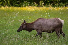 Female Elk Side View Close Up Royalty Free Stock Images