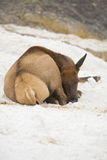 Female elk sleeping in lime deposits, Yellowstone. Stock Image