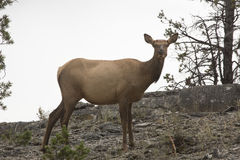 Free Female Elk Standing And Facing Camera, Yellowstone National Park Royalty Free Stock Image - 65105536