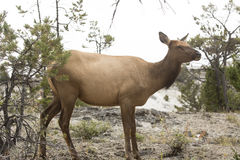 Free Female Elk Standing And Facing Forward, Yellowstone National Par Royalty Free Stock Image - 65105736