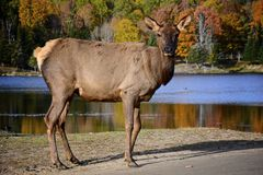 Female Elk Royalty Free Stock Photography