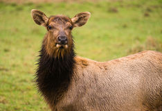 Female Elk Stops Grazing to Look at the Camera Royalty Free Stock Photo