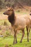 Female Elk Stops Grazing to Look at the Group Stock Photos