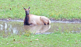 Female Elk Royalty Free Stock Image