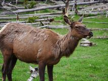 Female Elk upclose in Yellowstone National Park. Female elk upclose with shedding fur in open space stock image