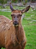 Female Elk upclose in Yellowstone National Park. Female elk closeup staring into camera ears alert munching on grass stock photography