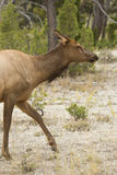 Female elk walking in shrubs, Yellowstone National Park, Wyoming Stock Photo