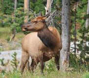 Female Elk in Yellowstone Park. Large elk in Yellowstone National Park grazing on the new grasses Stock Photo