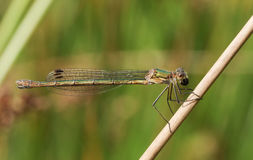 A female Emerald Damselfly Lestes sponsa perched on a reed. Stock Image