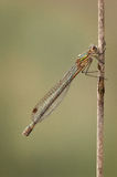 Female Emerald Damselfly Stock Photo
