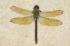 Female Emperor Dragonfly (Anax imperator), deceased Stock Photos