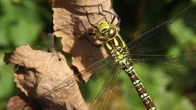 Female Emperor dragonfly. stock video footage