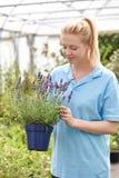 Female Employee At Garden Center Holding Lavender Plant In Green. Female Employee At Garden Center Holds Lavender Plant In Greenhouse royalty free stock photos