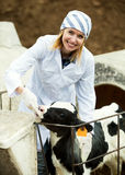 Female employee posing with young cattle Stock Image