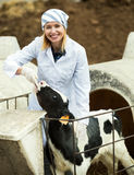Female employee posing with young cattle Royalty Free Stock Photography