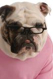 Female english bulldog Royalty Free Stock Photo