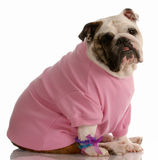 Female english bulldog Royalty Free Stock Photo