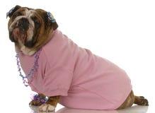 Female english bulldog Stock Photo
