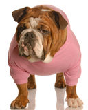 Female english bulldog Stock Photo