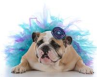 Female english bulldog Royalty Free Stock Photography