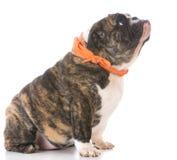 Female english bulldog Stock Images